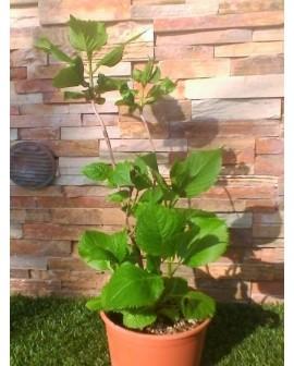 Ortensia - Hydrangea macrophylla