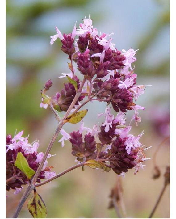 Maggiorana - Origanum majorana