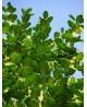 Bosso nano - Buxus pumila nana