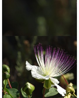 Cappero - Capparis spinosa