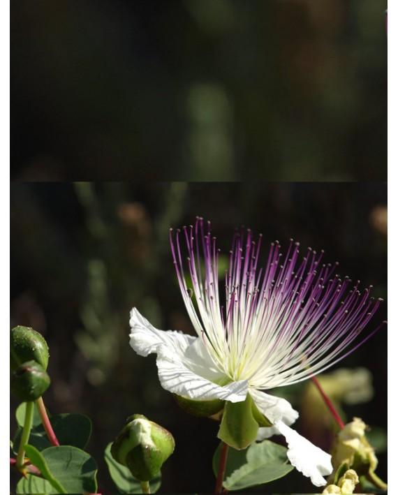 Cappero - Capparis spinosa
