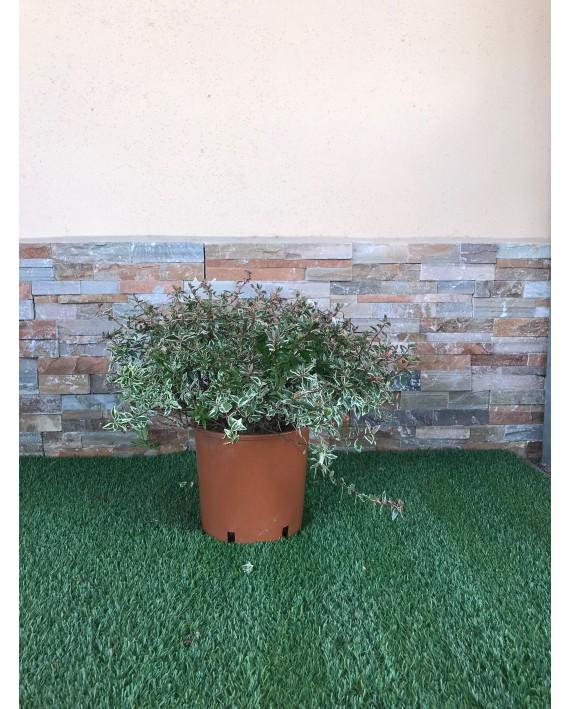 Abelia variegata Confetti