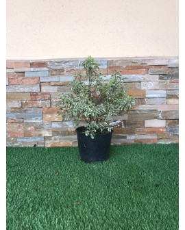 Pittosporum Sylver queen