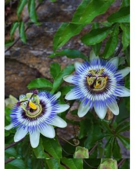Passiflora cerulea - Fiore della passione