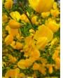 Ginestra - Spartium junceum