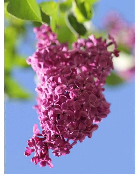 Lillà - Syringa vulgaris