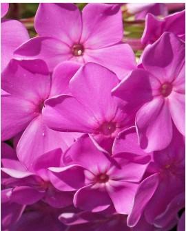 Phlox subulata rosa