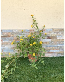 Lantana sellowiana