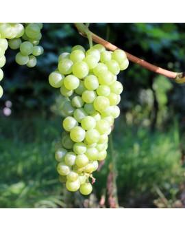 malvasia bianca di candia-25 pz